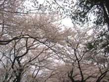 Sakurashimonoike