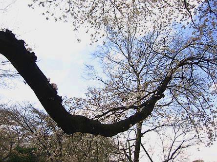 Sakura60nenmono
