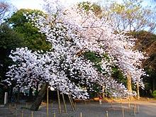 Sakurakaminoike1