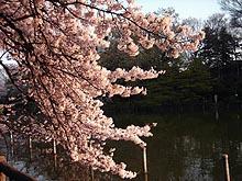Sakurakaminoike2