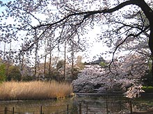 Sakurashimonoike1