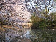 Sakurashimonoike2