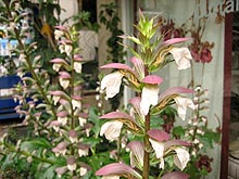 Dekkaiacanthus
