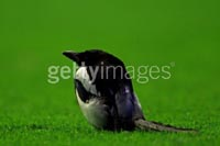Magpie_anfield