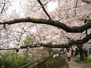 Sakura2011_5
