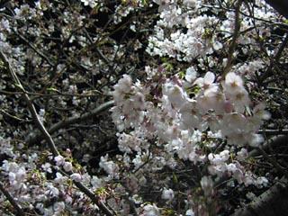 Sakura2011_8