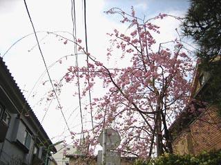 Gokinjosakura11_4