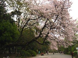 Zenpukujisakura11_1